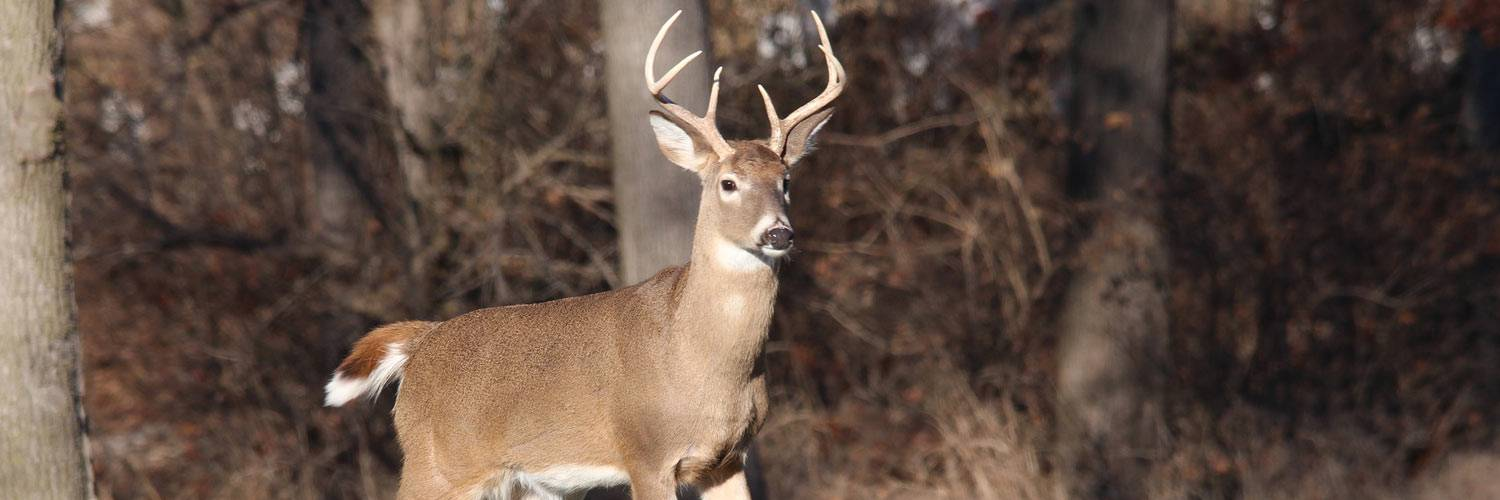 A white-tailed deer stands near a wooded area