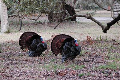 Two wild turkeys walk near trees